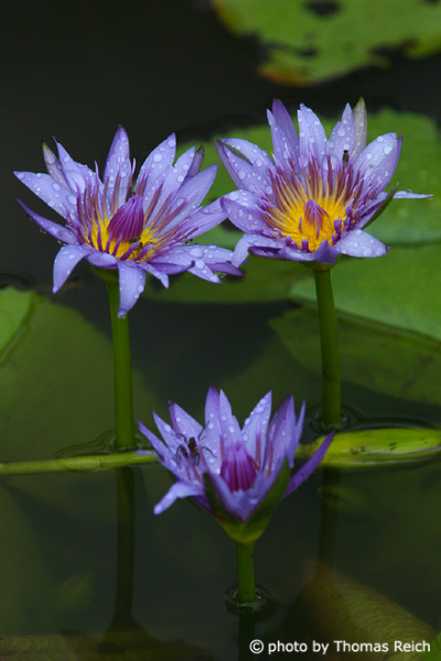 Purple waterlilies, Nymphaea