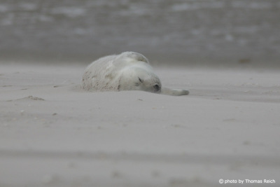 Sleeping grey seal baby at the beach, North Sea
