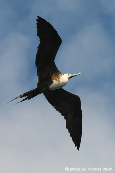 Great frigatebird wings