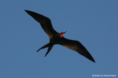 Great frigatebird male flying