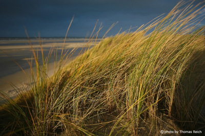 Sand dune with Ammophila, Amrum
