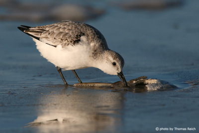 Sanderling eats crustaceans, Amrum
