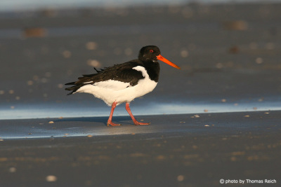 Eurasian Oystercatcher Northern Sea