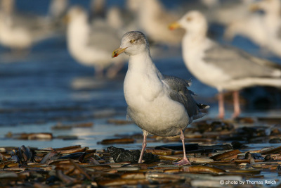European herring gulls at the beach, Amrum