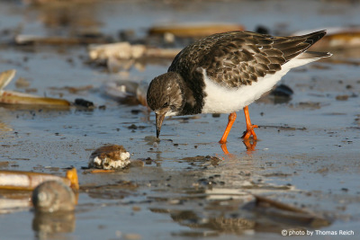 Ruddy turnstone looking for food, Amrum