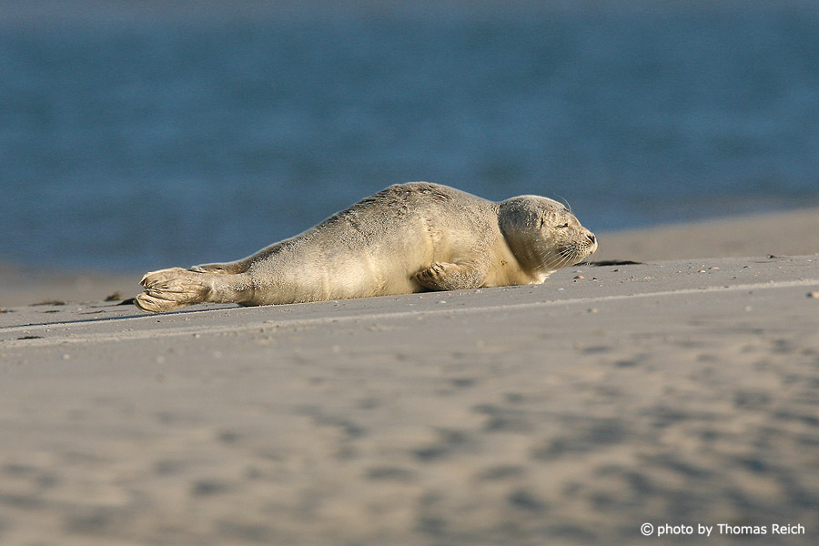 Grey seal baby at the beach, Amrum