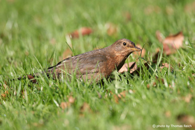 Common Blackbird looking for food