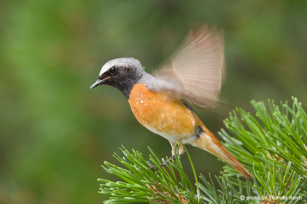 Common Redstart after flight