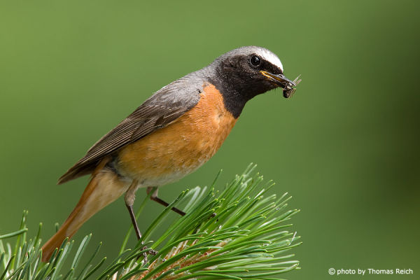 Common Redstart with prey in beak