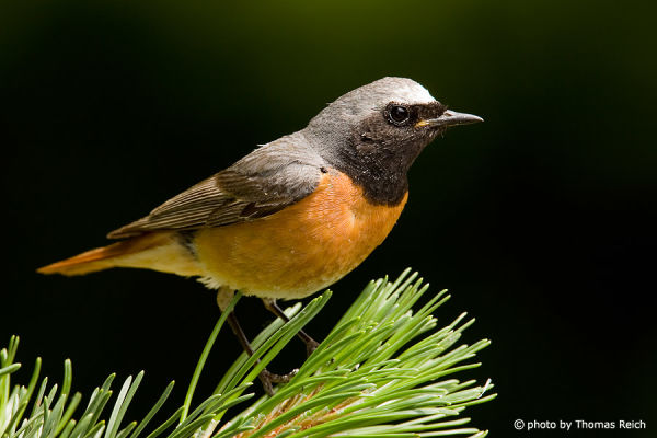Size of Common redstart size