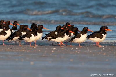 Eurasian Oystercatcher at the ocean