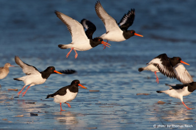 Eurasian Oystercatchers in flight