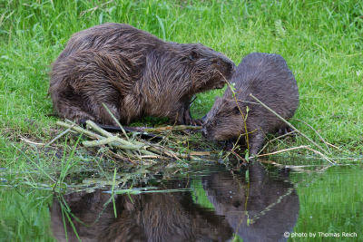 Beavers at the river