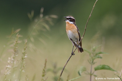 Whinchat call
