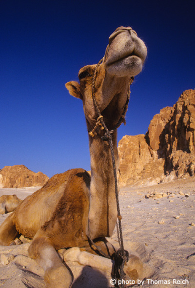 Arabian camel safari and riding, Sinai, Egypt