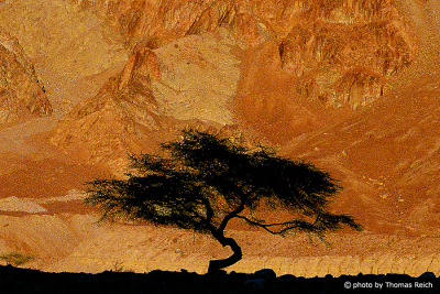 Silhouette of Acacia tree Sinai