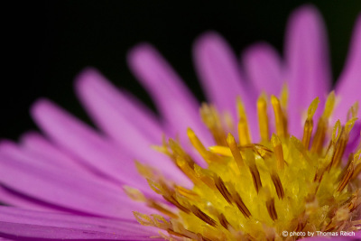 Rosa Aster Blume