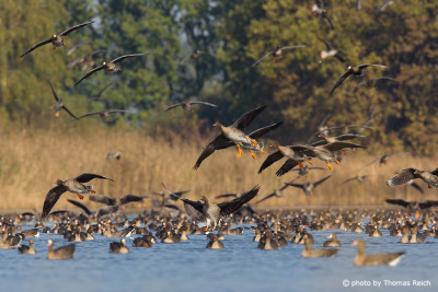Colony of Greater White-fronted Geese and Taiga bean geese