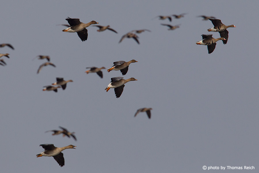 Flying Greater White-fronted Geese and Taiga bean geese