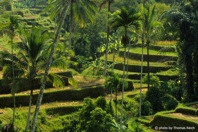 Ubud Rice terraces in Bali
