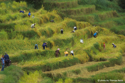 Rice terraces with workers in Bali