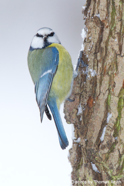Eurasian Blue Tit at birch tree