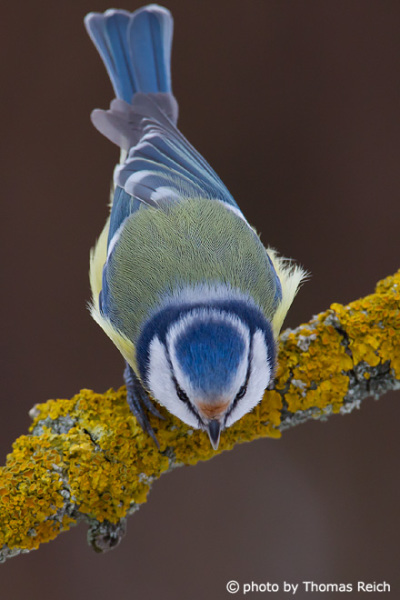 Eurasian Blue Tit colours