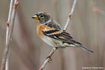 Brambling in Germany