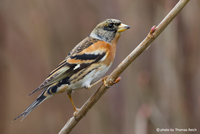 Brambling sitting on branch