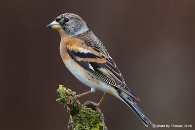 adult Brambling