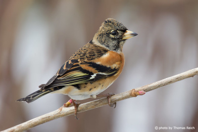 Brambling in winter