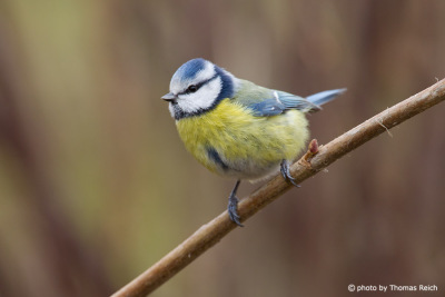 Eurasian Blue Tit sitting on  branch