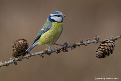 Eurasian Blue Tit diet