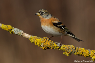 Brambling beak