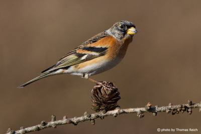Brambling feathers male