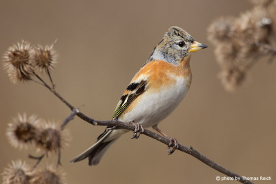Brambling sits on branch after flight