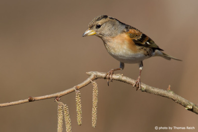 Brambling female