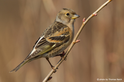 Brambling feathers female