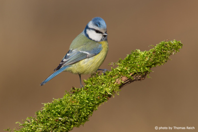 Eurasian Blue Tit in summer