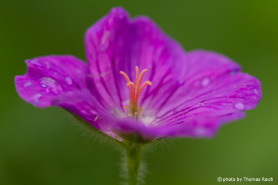 Meadow crane´s-bill, Geranium pratense