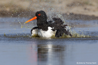 Eurasian Oystercatcher cleaning plumage