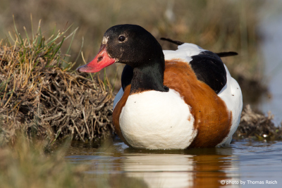 Common Shelduck female