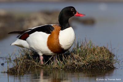 Common Shelducks in Germany