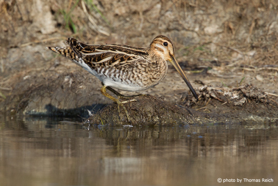 Common snipe appearance