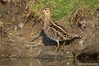 Common snipe height