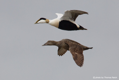 Common Eider in flight