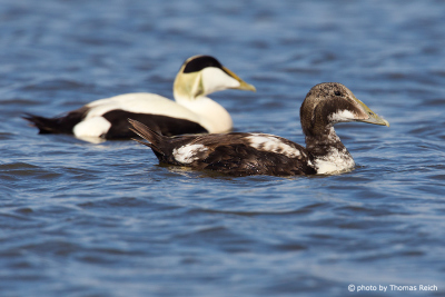 Common Eider male eclipse plumage