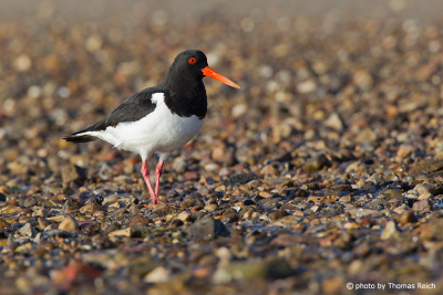 Eurasian Oystercatcher in Amrum North Sea