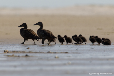 Common Eider with ducklings at thebeach