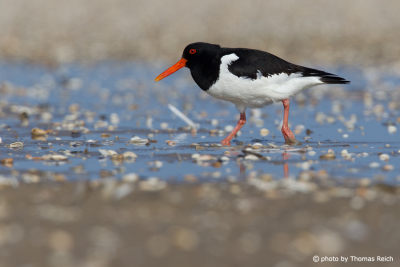 Eurasian Oystercatcher Wadding sea